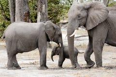 Elephant protecting  baby elephant, Botswana, Africa. Baby elephant between mother and brother, Okavango Delta, Botswana, Africa Stock Photo