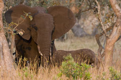 Elephant cow and calf Stock Photography