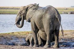 Elephant Cow and Calf enjoying a Mud Bath Stock Photography