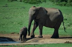 Elephant cow and calf, South Africa Royalty Free Stock Photo