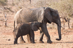 Elephant cow and calf walking Royalty Free Stock Photography