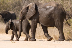 Elephant cow and calf wet walking over a dry road protecting Stock Photos