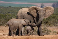 Elephant cow and calves. Royalty Free Stock Photography