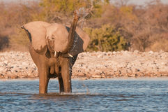 Elephant cow drinking Stock Photography
