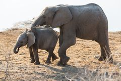 Elephant cow guide calf. In Etosha NP, Namibia royalty free stock images