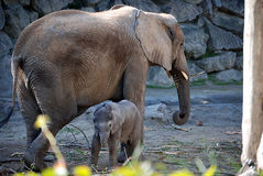Elephant cow with her calf Royalty Free Stock Photo