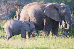 Elephant cow and small calf feeding on long grass Stock Photography