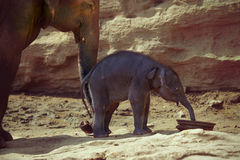 Elephant cow supports newborn calf with trunk Stock Photo