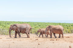 Elephant cow with two calves Stock Photo