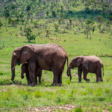 Elephant cow and calves Stock Photos