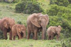 Elephant Cows. With Calves, Addo Elephant National Park Stock Photo