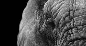 Elephant. Creative black and whit image of an African elephant Stock Photos
