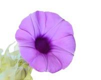 Elephant Creeper. Purple flowers ( Elephant Creeper )  Isolated on white background Stock Photography