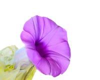 Elephant Creeper. Purple flowers ( Elephant Creeper )  Isolated on white background Royalty Free Stock Image