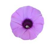Elephant Creeper. Purple flowers ( Elephant Creeper )  Isolated on white background Royalty Free Stock Photography