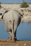 Elephant Cross Legged Royalty Free Stock Photo