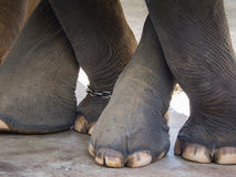 The Elephant Cross Legs Royalty Free Stock Photos