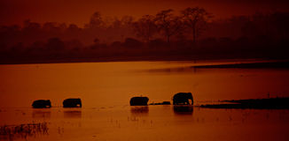 Elephant. Cross the river in sunset Stock Photography