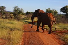 Elephant Crosses Road. In thickets bathe in early morning sunlight Stock Image
