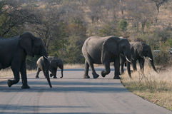Elephant Crossing. Herd of Elephants with calf crossing road in Kruger Park Royalty Free Stock Photography