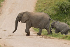 Elephant crossing Stock Photo