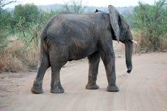 Elephat in Pilanesberg National Park. Elephant crossing a dirt road in Pilanesberg National Park, South Africa Stock Photo