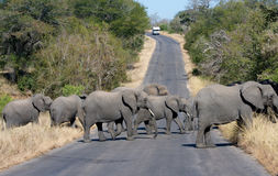 Elephant crossing Royalty Free Stock Images
