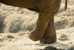 Elephant crossing legs Royalty Free Stock Image