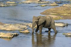 Elephant crossing Olifants River Royalty Free Stock Photography
