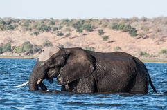 Elephant crossing the river Stock Photo