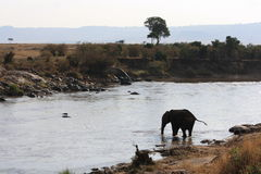 Elephant crossing river Stock Image