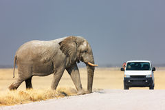 Elephant crossing road. Tourist leaning out of vehicle to photograph an elephant walking over road; Etosha Stock Images