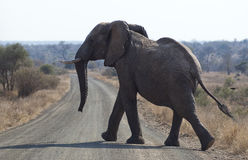 Elephant is crossing a road Royalty Free Stock Photos