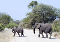 Elephant is crossing a road. At Krugerpark stock photos