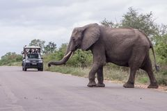 An elephant crossing the road. In front of the ranger car in Kruger park, South Africa royalty free stock photo
