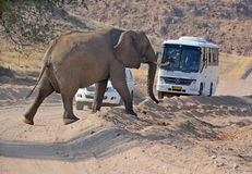 Elephant crossing a road Royalty Free Stock Photography