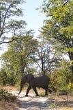 Elephant is crossing the road. In okavango delta, botwana royalty free stock image