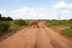 An elephant is crossing the road in the savannah royalty free stock photo