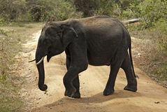 Elephant crossing the road. Sri Lanka, Yala National Park Stock Photos