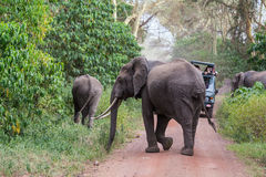 Elephant crossing the road Royalty Free Stock Image