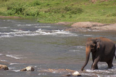Elephant crossing stream. Elephant walking across a shallow river or stream Stock Images