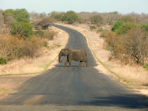 Elephant crossing street. An elephant crossing a street in the krueger national park in africa Royalty Free Stock Image