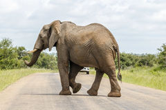 Elephant crossing street in Kruger Park. South Africa Royalty Free Stock Image