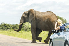Elephant crossing street in Kruger Park stock photos