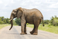 Elephant crossing street in Kruger Park. South Africa Royalty Free Stock Photos