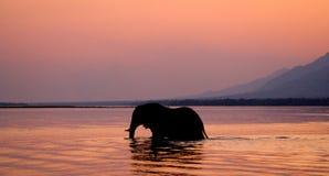 Elephant crossing the Zambezi River at sunset in pink. Zambia. Stock Photos