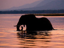 Elephant crossing the Zambezi River at sunset in pink. Zambia. Royalty Free Stock Images