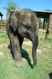Elephant cub Stock Photos