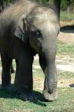 Elephant cub Royalty Free Stock Image
