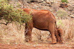 Elephant cub. Elephant mother with cub. Kenya Safari Stock Image